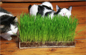 Wheatgrass-Benefits-for-Cats