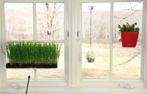 How-to-grow-your-own-wheatgrass-?