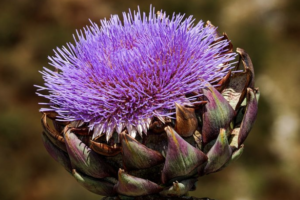 Artichokes-Are-A-Healthy-Superfood