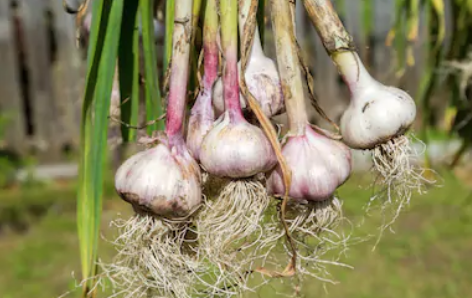 In-And-External-Garlic-Applications